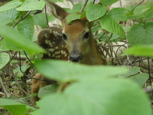 Zoomed shot of the fawn